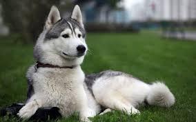 Do Samoyed Huskies Shed by Pseudo Huskies U2013 Story To Tell