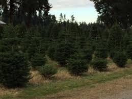 Santa Cruz County Christmas Tree Farms by U Cut U Enjoy At Pierce County Christmas Tree Farms Southsoundtalk