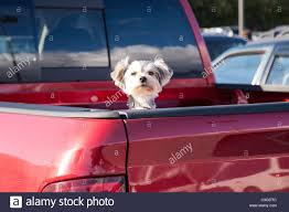 100 Truck Bed Door Cute Small Dog Peeking Out Of Red Pickup USA Stock Photo