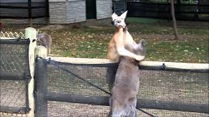 Grants Farm St Louis Halloween by Wallaby Vs Kangaroo At Grant U0027s Farm Youtube