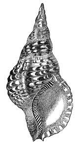 Natural History Clip Art – Seashells