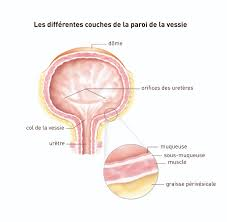 interieur corps humain femme la vessie cancer de la vessie institut national du cancer