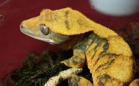 Halloween Harlequin Crested Gecko For Sale by Crested Gecko Wallpaper Crested Geckos U0026 Vivariums Pinterest