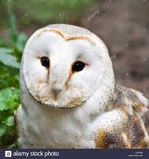 Portrait Of Barn Owl Or Church Owl Sitting And Watching ... Watch The Secret To Why Barn Owls Dont Lose Their Hearing 162 Best Owls Images On Pinterest Barn And Children Stock Photos Images Alamy Owl 10 Fascating Facts About Species List Az 210 Birds Drawing Photographs Of Cave By Tyler Yupangco 312 Beautiful Birds