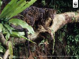 Kinds Of Christmas Trees In India by Clouded Leopards Wwf