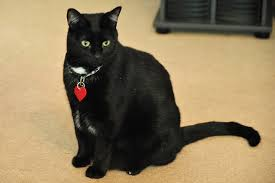 bombay cats bombay cats the gorgeous black bombay breed pictures