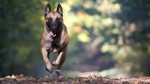 what is the difference between a belgian shepherd and a german