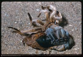 Do Tarantulas Molt Upside Down by How Tarantulas Molt Petshoptop