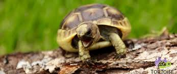 Flukers Turtle Clamp Lamp by Greek Tortoise For Sale Baby Golden Greek Tortoise For Sale Greek