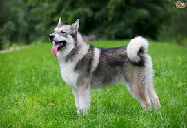 Guard Dogs That Dont Shed by 10 Worst Guard Dog Breeds Ever Pets4homes