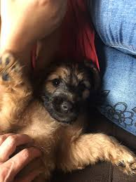 Border Terrier Non Shedding by Gorgeous Non Shedding Puppies 2 Left Dogs U0026 Puppies For