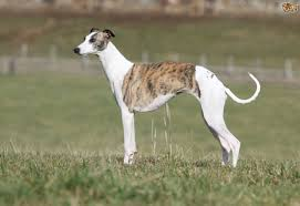 Big Lazy Non Shedding Dogs by Whippet Dog Breed Information Buying Advice Photos And Facts
