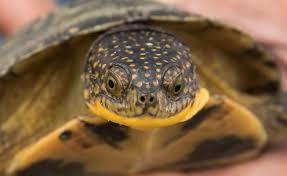 Flukers Turtle Clamp Lamp by Blanding U0027s Turtle For Sale Online Baby Blanding U0027s Turtles For Sale