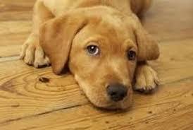 how to clean dog urine off of hardwood floors harbour hardwood