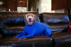 Small Dogs That Dont Shed Uk by Shed Defender Leotard For Dogs Stops Them Shedding Their Hair All