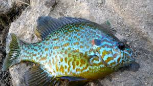 Pumpkin Seed Sunfish Pictures by The Pumkinseed U2014 Panfish On The Fly
