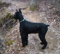 giant schnauzer dog breed information and pictures