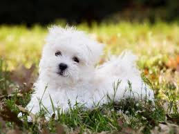 Non Shedding Small Dogs Uk by Best Dogs For Kids That Don U0027t Shed Dog Pet Photos Gallery