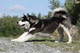 Non Shedding Large Dogs by Large Munsterlander Dog Breed Information Buying Advice Photos