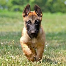 belgian malinois info temperment care puppies pictures training