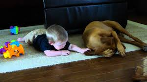 Do Vizsla Dogs Shed by Baby Playing With Vizsla Youtube