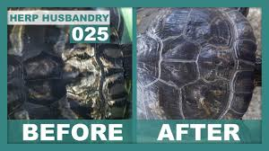 Turtle Shell Not Shedding Properly by How To Easily Fix Shell Rot In Turtles Youtube