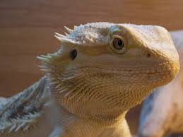 Bearded Dragon Shedding A Lot by The Bearded Dragons Den