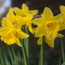 bulk buy golden harvest daffodil bulbs in ireland