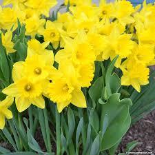 trumpet daffodil bulbs master american