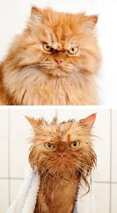 bathing cats 15 hilarious animals before and after a bath bored panda