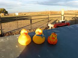 Pumpkin Patches Near Broomfield by Rock Creek Farm U2013 Colorado Traveling Ducks