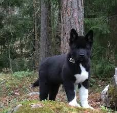 Does Akita Shed A Lot by 100 Best Awedome Akitas Images On Pinterest Akita Dog American