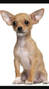 Non Shedding Small Dogs Uk by 84 Best Cute Small Dog Breeds Images On Pinterest Small Dogs