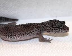Do Baby Leopard Geckos Shed by Leopard Gecko Holdbacks Updates And New Ones