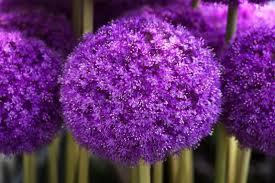 allium giganteum bulbs for sale buy ashridge nurseries