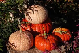 Pumpkin Patch Bellingham Wa by Gordon Skagit Farms