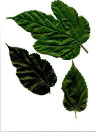 Mulberry Leaves SmlJPG 38522 Bytes