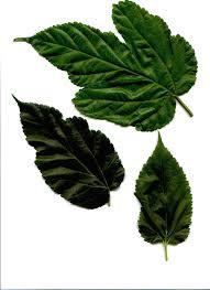 Mulberry Leaves SmlJPG 38522 Bytes