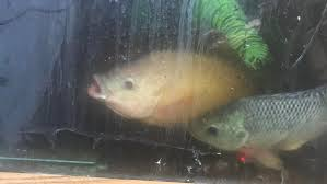 Hawaiian Gold Tilapia F And True Blue M When My First Tank Was A Hot Tub The Suns Relection Would Make This Lady Look Translucent