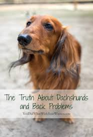 Low Shedding Small Dogs by Dachshund Back Broblem Facts Jpg