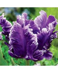 amazing deal on purple parrot tulip bulbs mysterious parrot