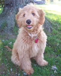 Do F1 Aussiedoodles Shed by My Mini Goldendoodle Puppy I Am Getting In July Thank Goodness
