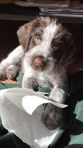 Wirehaired Pointing Griffon Non Shedding by 1375 Best Best Friends Images On Pinterest Friends Wirehaired