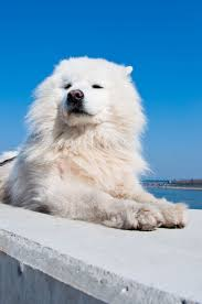 Do Samoyed Dogs Shed Hair by 5 Things To Know About American Eskimo Dogs Petful