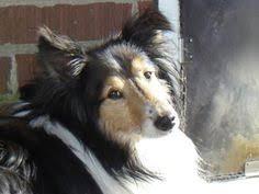 Pin by jrachelle on ❤ Shelties Shetland Sheepdogs