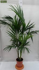 kentia palme howea forsteriana wunderschöne zimmerpflanze sehr pflegeleicht 130 150cm pot ø 22 cm