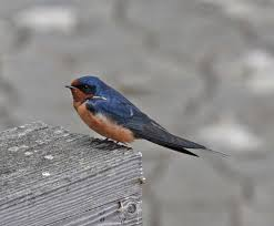 Pictures And Information On Barn Swallow Barn Swallow Sitting On A White In Sumrtime Stock Photo Swallow Watercolor Print 5x7 Bird Art David Scheirer Wooden By Limitlessendeavours On Deviantart Birding Is Fun The Beloved Character Concept Pilot Illustration Project Barn Barnstorming Swallows Make Their Return To New Hampshire Birds Of York Larks And Kinglets Cool Facts About Small With Forked Tails Hirundo Rustica Male Lake Washington Union Bay Seattle Usa Feather Tailed Stories