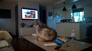 Do Shiba Dogs Shed by Ever Wonder What A Shiba Inu And Alaskan Malamute Would Make Aww