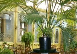kentia ou howea culture et entretien de ce palmier d intérieur