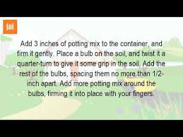how do you plant daffodil bulbs in pots